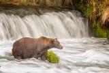 brown_bears_2015