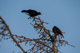 The common blackbird it's mellow song is a favourite.