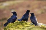 murder of crows on the mach loop