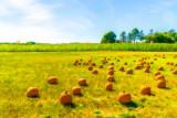 field of pumpkins.jpg
