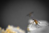 Insecte sur Tanaisie