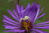Thomise sur Aster