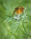 Araignée diadème