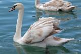 swan - labod grbec (IMG_9247m.jpg)