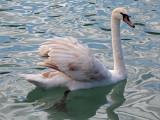 swan - labod grbec (IMG_9243m.jpg)