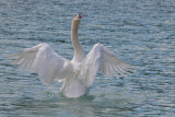swan - labod grbec (IMG_9280ok.jpg)