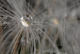 water drop on dandelions (IMG_9534m.jpg)