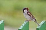 passer domesticus vrabec (IMG_3242p.jpg)
