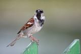 passer domesticus - sparow - vrabec(IMG_3177p.jpg)