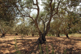 olive grove on island Vis (IMG_2963m.jpg