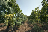 vineyard on island Vis (IMG_2975m.jpg