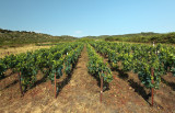 vineyard on island Vis (IMG_3057m.jpg