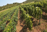 vineyard on island Vis (IMG_2989m.jpg