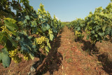vineyard on island Vis (IMG_3109m.jpg