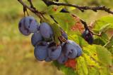 plums (IMG_5150m.jpg)