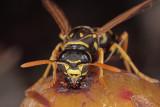 wasp - osa - macro (IMG_5068m.jpg)