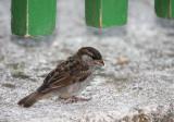sparrow - vrabec (IMG_3173p.jpg)