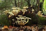 mushrooms - gobe (IMG_7603m.jpg)