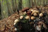 mushrooms - gobe (IMG_7576Om.jpg)