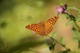 butterfly - metulj (IMG_4663m.jpg)