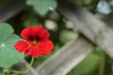 red blossom - rdeči cvet (IMG_2138m.jpg)