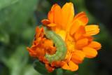 caterpillar - gosenica (IMG_6967m.jpg)