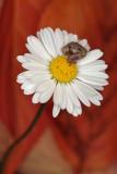 snail on daisy - polz na marjetici (_MG_0004m.jpg)