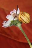 snail on daisy - polz na marjetici (_MG_0076m.jpg)