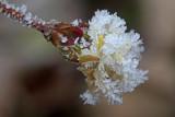 blossom captured in the frost - cvet ujet v ivju (_MG_3418m.jpg)