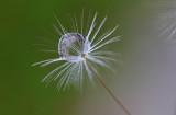 water drop on dandelion seed (_MG_1136m.jpg)