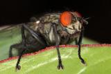 fly - muha (_MG_2074m.jpg)