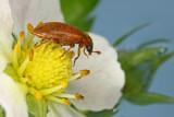bug on wild strawberry blossom - hrošček na cvetu gozdne jagode (_MG_5490m.jpg)
