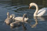 young swan family - mlada labodja družina - labod grbec ( _MG_8773m.jpg)