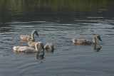 young swans - mladi labodi (_MG_8808m.jpg)