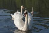 young swan family - mlada labodja družina ( _MG_8794m.jpg)