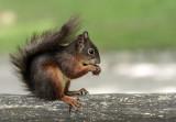 Squirrel - veverica (_MG_2013m.jpg)