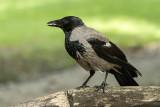 crow - vrana (_MG_2023m.jpg)