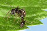 ants - mravlje (_MG_5572m.jpg)