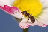 ant - mravlja (_MG_5545m.jpg