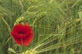 poppy in wheat - mak v pšenici (_MG_7301m.jpg)