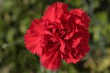 red carnation - rdeči nagelj (_MG_8393m.jpg)