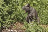 yawning cat - zehanje mačka (_MG_8482m.jpg)