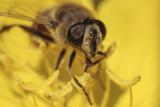 hoverfly - muha trepetavka (_MG_9731m.jpg)