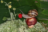 snail and strawberry - polž in jagoda (_MG_0376m.jpg)