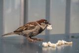 sparrow - vrabec (IMG_1487m.jpg)