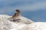 sparrow - vrabec (_MG_2333m.jpg)