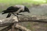 crow - vrana (_MG_2031m.jpg)