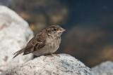 sparrow - vrabec (_MG_2304m.jpg)