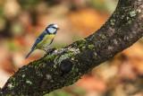 Parus caeruleus - tom tom - sinica plavček (_MG_9973m.jpg)
