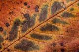 autumn leave - jesenski list (_MG_8653m.jpg)